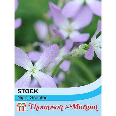 stock night scented at beechmount garden centre