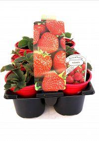strawberry 6pk