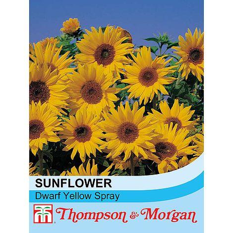 sunflower dwarf yellow spray