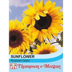 sunflower russian giant at beechmount garden centre