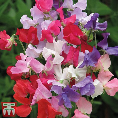 sweetpea early mammoth @ beechmount garden centre