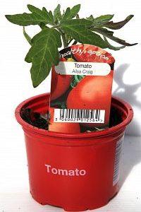 tomato ailsa craig at beechmount garden centre