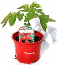 tomato gardeners delight at beechmount garden centre
