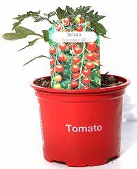 tomato supersweet at beechmount garden centre