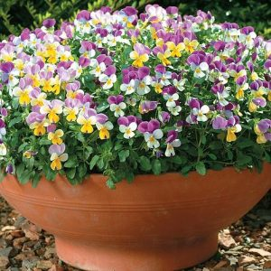 viola seeties at beechmount garden centre