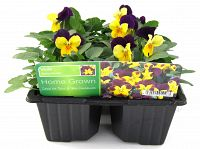 viola yellow purple wing