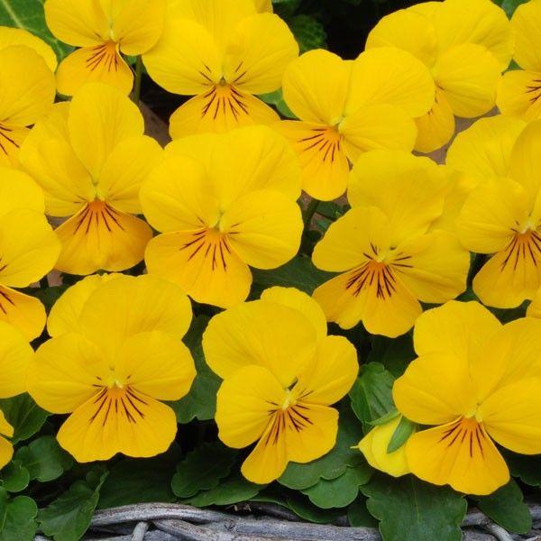 viola yellow at beechmount garden centre