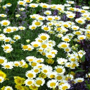 anthemis at beechmount garden centre