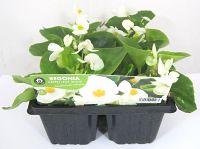 Begonia white at beechmount garden centre