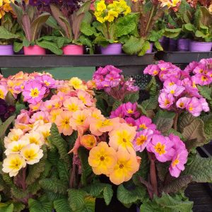 primula at beechmount garden centre