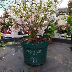 prunus at beechmount garden centre
