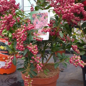 pieris at beechmount garden centre