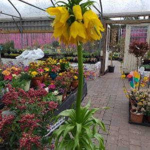 fritallaria at beechmount garden centre
