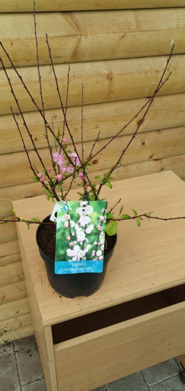 prunus at beechmount garden centre
