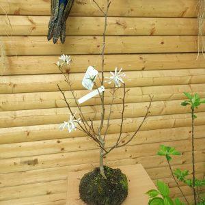 Magnolia at beechmount garden centre