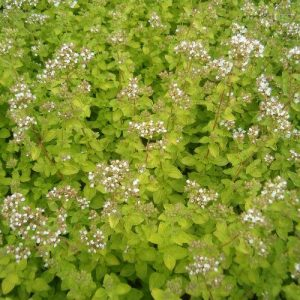 Oregano at beechmount garden centre
