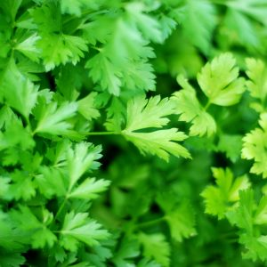 parsley at beechmount garden centre
