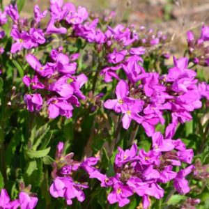 arabis spring charm at beechmount garden centre