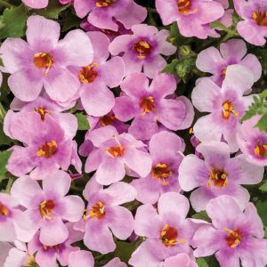 bacopa pink at beechmount garden centre