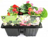 begonia mixed at beechmount garden centre