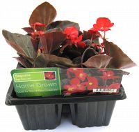 begonia red dark leaf at beechmount garden centre