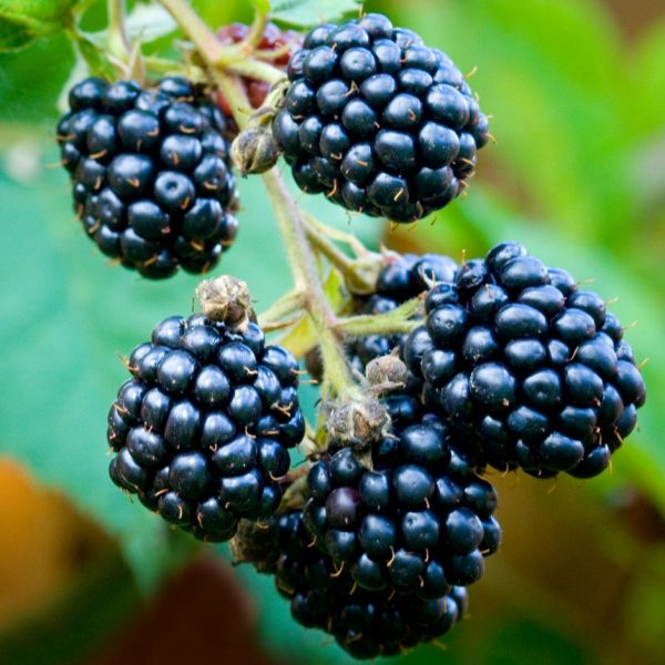 blackberry loch ness at beechmount garden centre