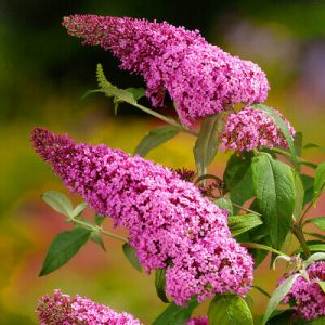 buddleia pink delight at beechmount garden centre