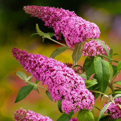 buddleia pink delight at beechmount garden centre