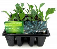 cabbage kale black at beechmount garden centre