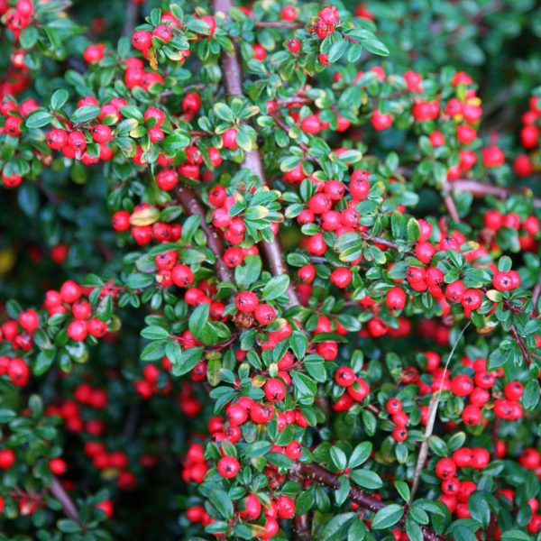 cotoneaster coral beauty at beechmount garden centre
