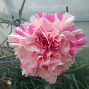 dianthus baileys celebration at beechmount garden centre