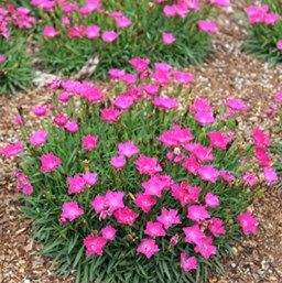 dianthus kahori at beechmount garden centre