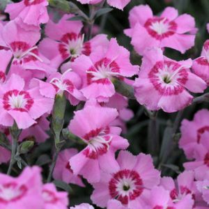 dianthus pixie star at beechmount garden centre