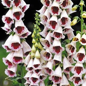 digitalis pams choice at beechmount garden centre