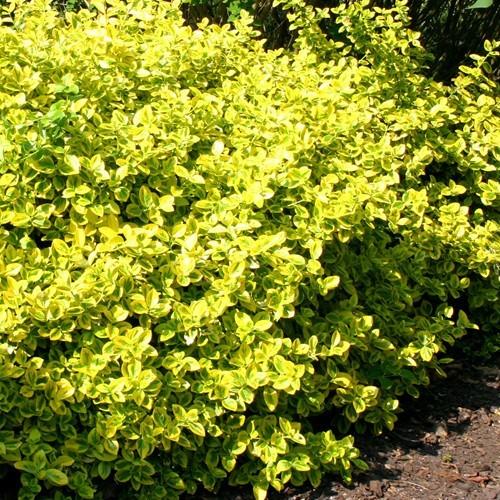 euonymous emerald n gold at beechmount garden centre