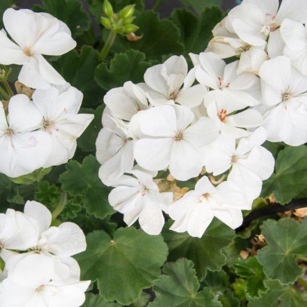 geranium white at beechmount garden centre