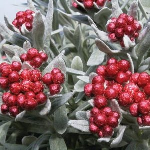 helichrysum red jewel at beechmount garden centre