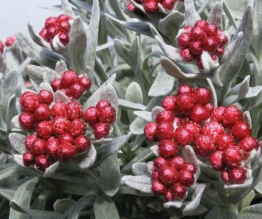 helichrysum red jewel at beechmount garden centre