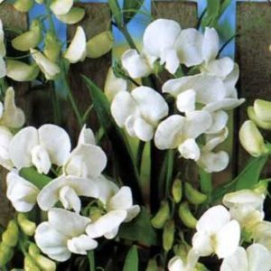 lathyrus white pearl at beechmount garden centre