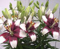 lily at beechmount garden centre