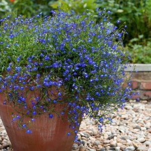 lobelia trailing blue at beechmount garden centre