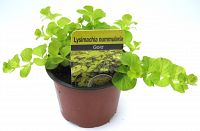 lysimachia gold 10cm at beechmount garden centre