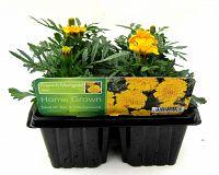 marigold french gold at beechmount garden centre