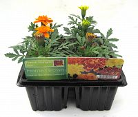 marigold french mixed at beechmount garden centre