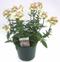 nemesia easter bonnet at beechmount garden centre