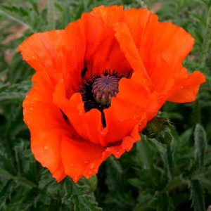 papaver at beechmount garden centre