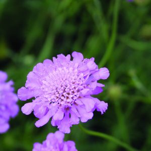 scabiosa at beechmount garden centre
