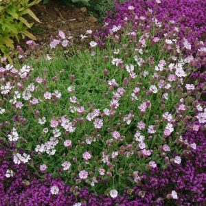 silene rosea at beechmount garden centre