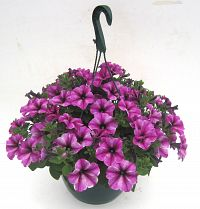surfinia hanging basket 27cm at beechmount garden centre