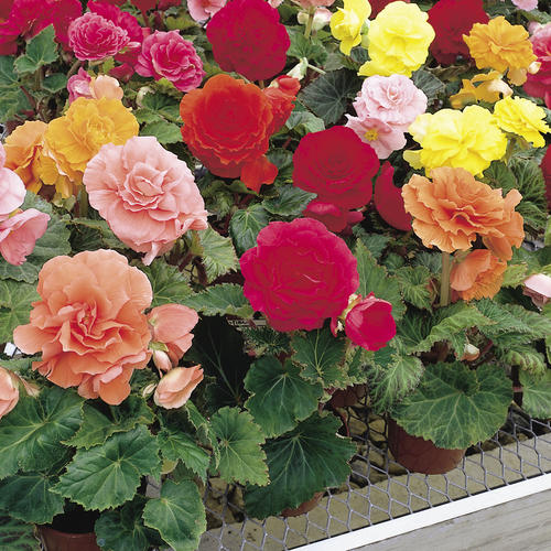 tuberous begonias mixed at beechmount garden centre